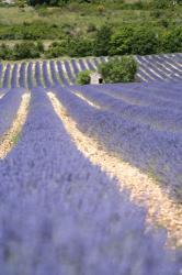 ラヴェンダー畑と家