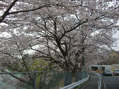 桜の花もそろそろ終わり。。。
