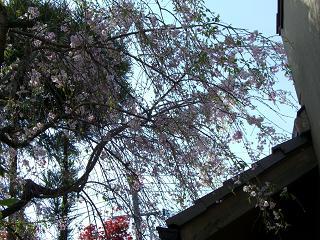 桜吹雪舞うよ~~☆