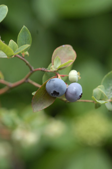 blueberry605-3.jpg