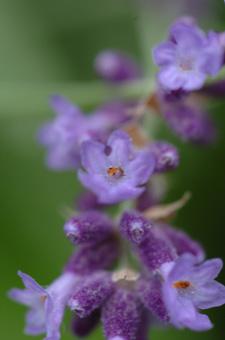 lavender618-1.jpg