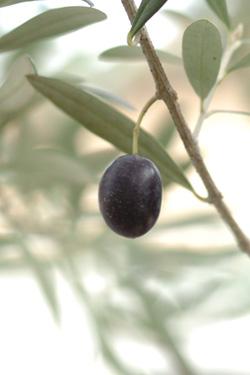 olive1104-2a.jpg