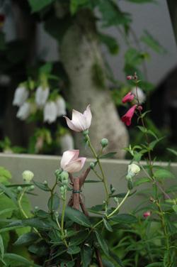 pinkkikyou618-5.jpg