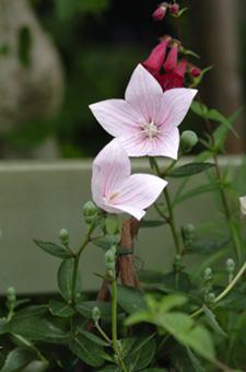 pinkkikyou619-2a.jpg