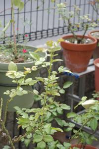 rose807-2.jpg