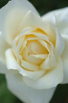 white1115-3a.jpg