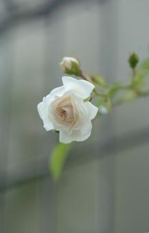whitedorosy528-2.jpg