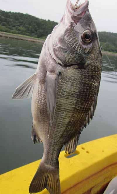 クロダイ釣り5