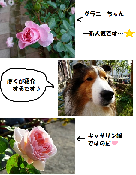 rosesaachan1.png