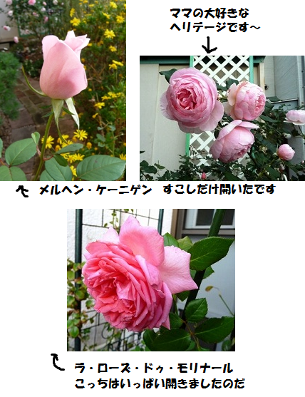 rosesaachan3.png