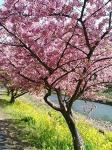 みなみの桜061