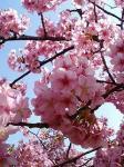 みなみの桜062