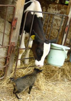 子牛と仲良し。