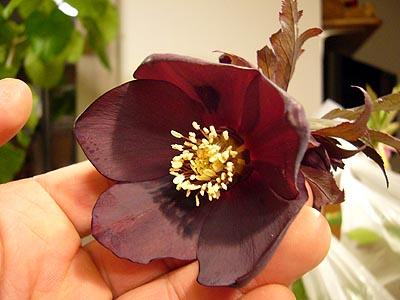 ブラック丸弁カップ咲き