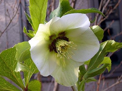 ホワイトダークネクタリー一番花
