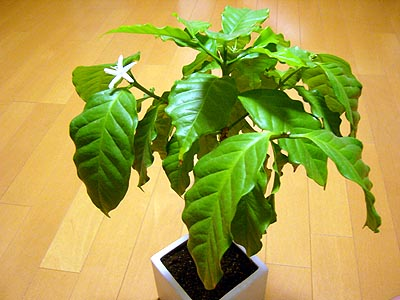 コーヒーの花2
