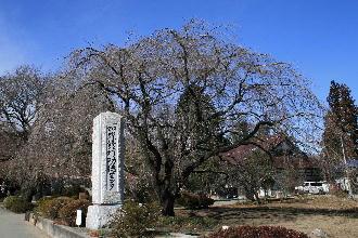 実相時の枝垂桜