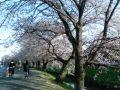 桜@新河岸川