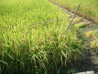 田んぼの四隅の稲を手で刈る!