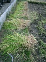 手で刈った稲は最後に手で機械にツッコミます