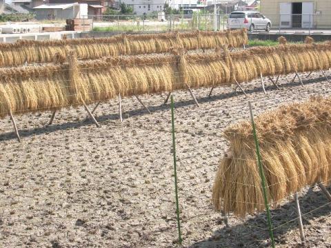 一本植えのさおがけ乾燥