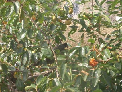 ヒヨドリと柿