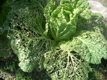 レース編みの白菜