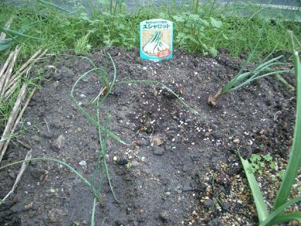 エシャロットを植えました!