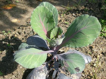 大きくなってきた紫キャベツ