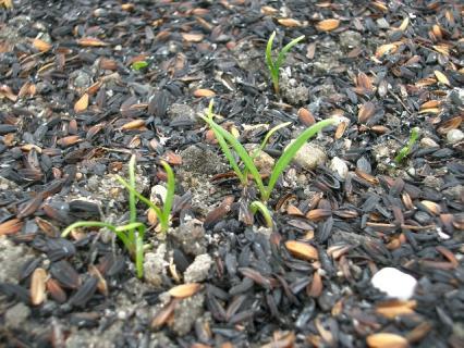 赤茎ホウレン草の芽が出た!