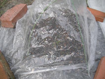 ホウレン草にミニ温室をプレゼント
