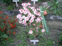 名前は知らないけれど、確かに可愛い菊