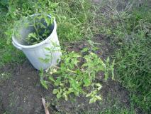 雑草の中からトマトをゲット!