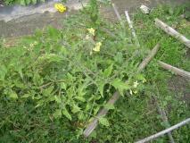雑草の中に、トマトが3本ある!