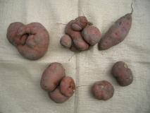 シュールなサツマイモ
