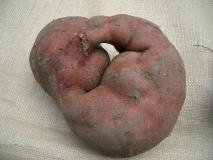 サツマイモの胎児