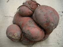 合体サツマイモ