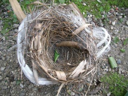 ヒヨドリの巣?