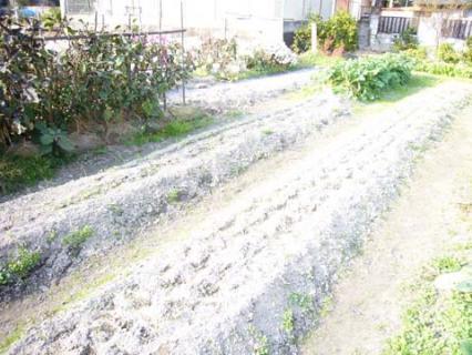 カサカサのネギ畑に水やりを…