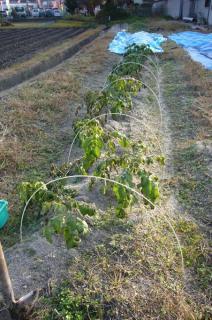 お師匠様のジャガイモ 2007-12-09 3-09-20