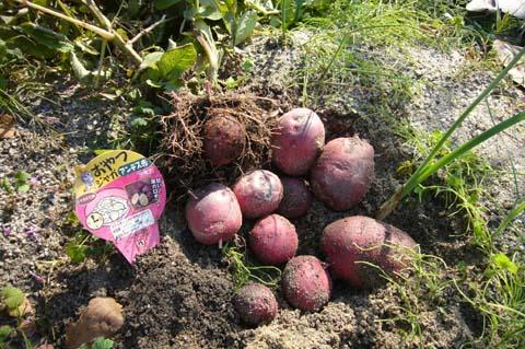アンデスレッド初収穫! 2007-12-09 1-18-46
