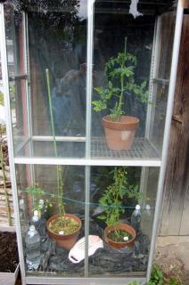 今日の温室トマト