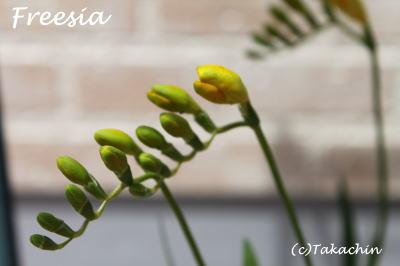 freesia-11