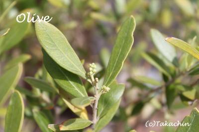 olive-11