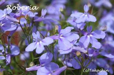 roberia-11