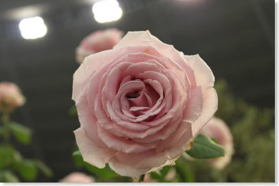 roseshow03
