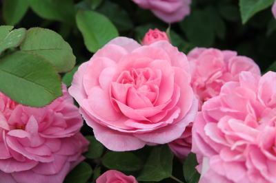 roseshow09