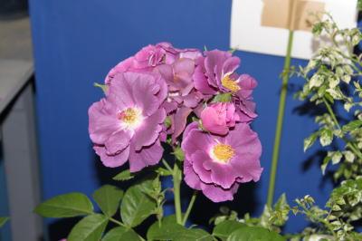 roseshow05