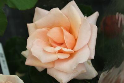 roseshow07
