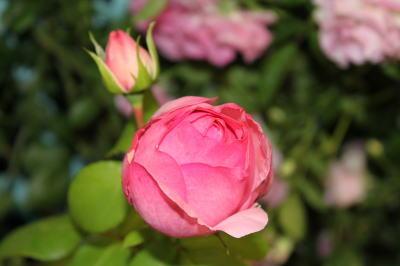 roseshow10